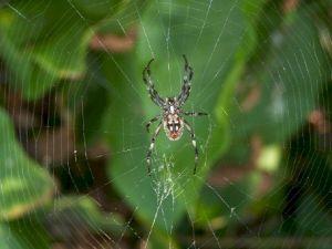 spider_cross